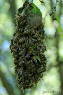 Rój pszczół fot. Małanowski