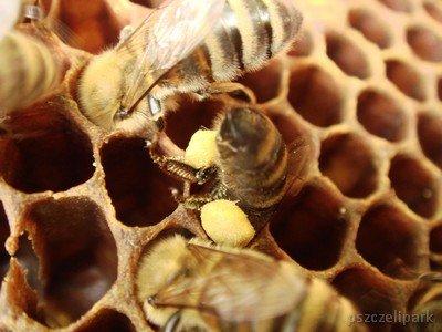 giną pszczoły fot. Dariusz Małanowski