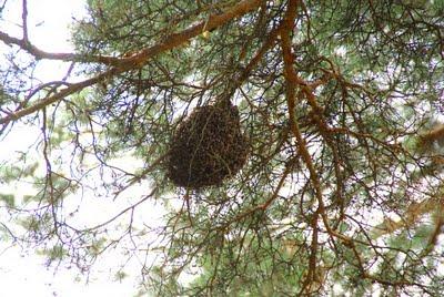 Rój pszczół na gałęzi sosny fot. Dariusz Małanowski