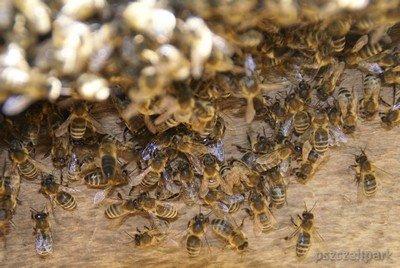 Pszczoły fot. Małanowski PszczeliPark