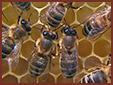 Pszczoly a twoje zdrowie - Apiterapia