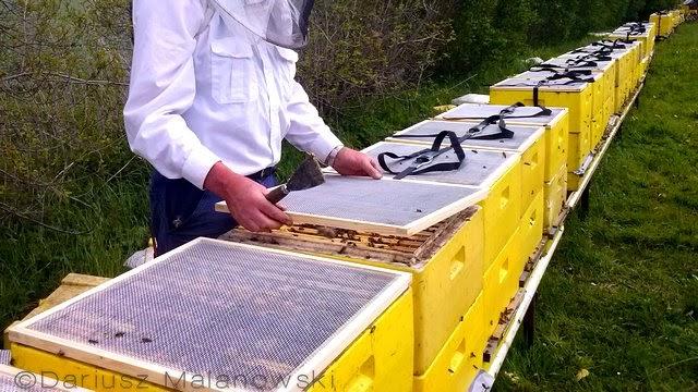 Przygotowanie rodzin pszczelich do transportu