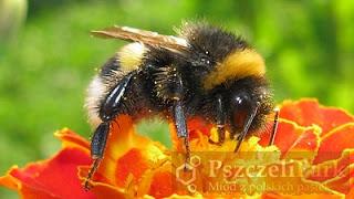 Kwiaty zapylają trzmiele, bo są bardziej pracowite od pszczół  photo malanowski photography