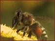 Skarbnica Zdrowia - Pylek kwiatowy