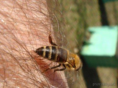 Użądlenie osy, pszczoły czy szerszenia może doprowadzić do śmierci fot. Dariusz Małanowski