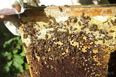 Pszczoły giną na Lubelszczyźnie fot. Dariusz Małanowski